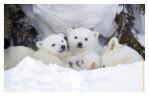 Polarbear6533C_Apr22-2011