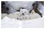 Polarbear6562E_Apr22-2011
