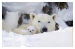 Polarbear6637C_Apr22-2011