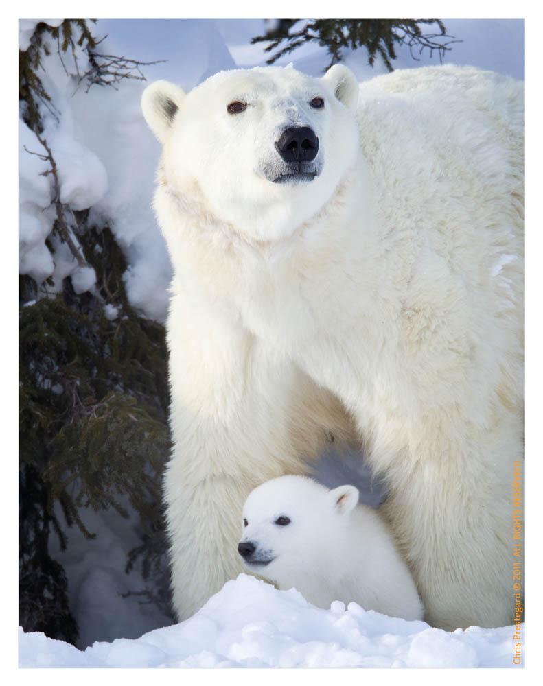 Polarbear6806C_Apr22-2011