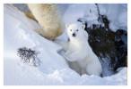 Polarbear6820E_Apr22-2011