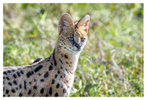 Serval mom at Ndutu, Tanzania Feb. 2019