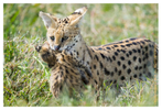 Serval mom and cub at Ndutu, Tanzania Feb. 2019