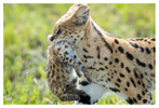 Serval mom with cub at Ndutu, Tanzania Feb. 2019