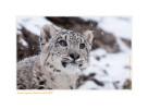 SnowLeopard3911-Oct11-2012