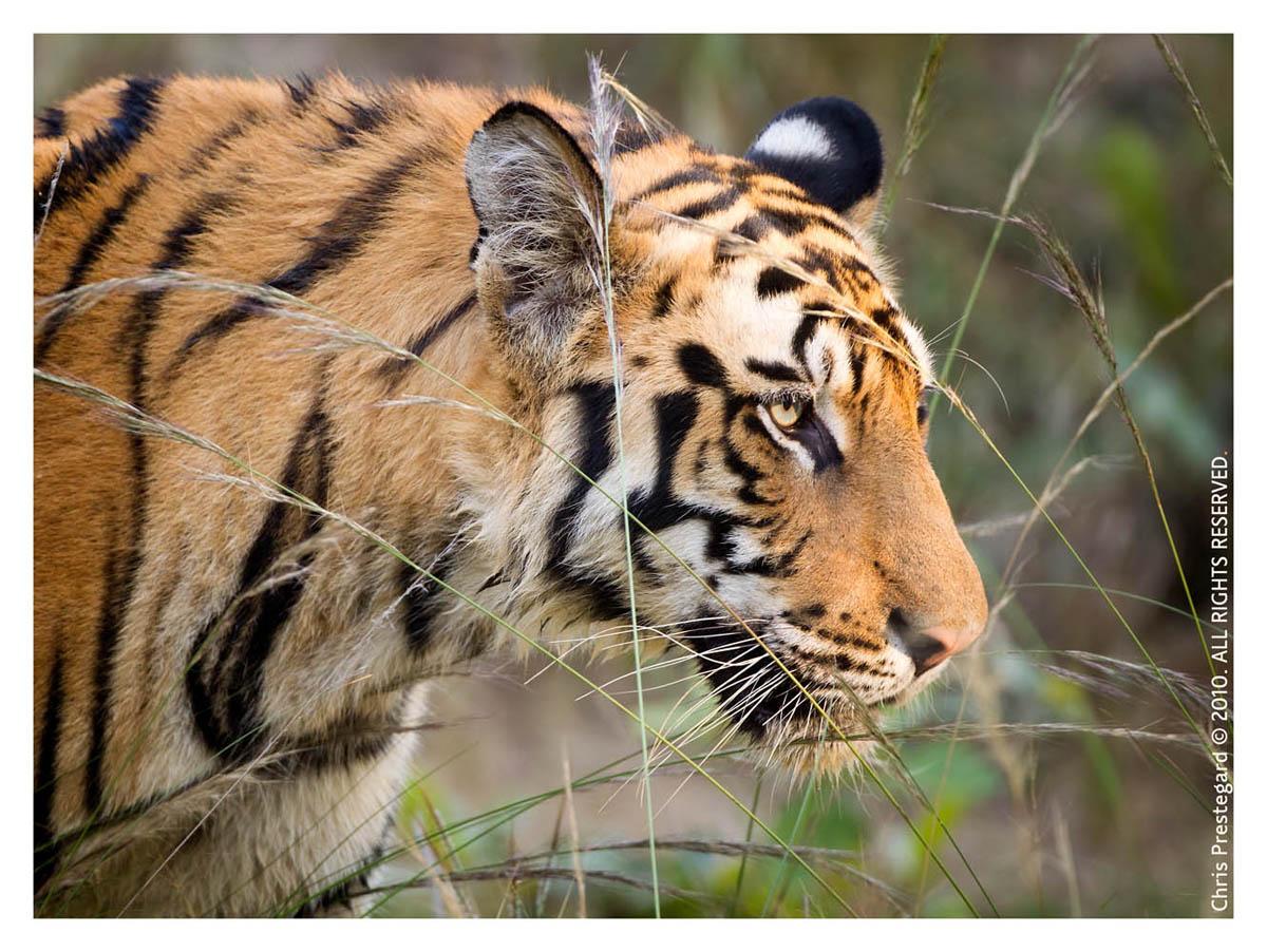 Tiger4776-Nov30-2010