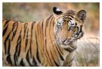 Tiger4808-Nov28-2010