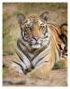 Tiger4923-Nov28-2010