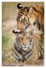 Tiger5029-Nov28-2010