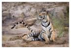 Tiger5104-Nov28-2010