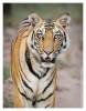 Tiger5227-Nov29-2010