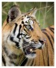 Tiger5279-Nov28-2010