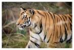 Tiger5401-Nov28-2010