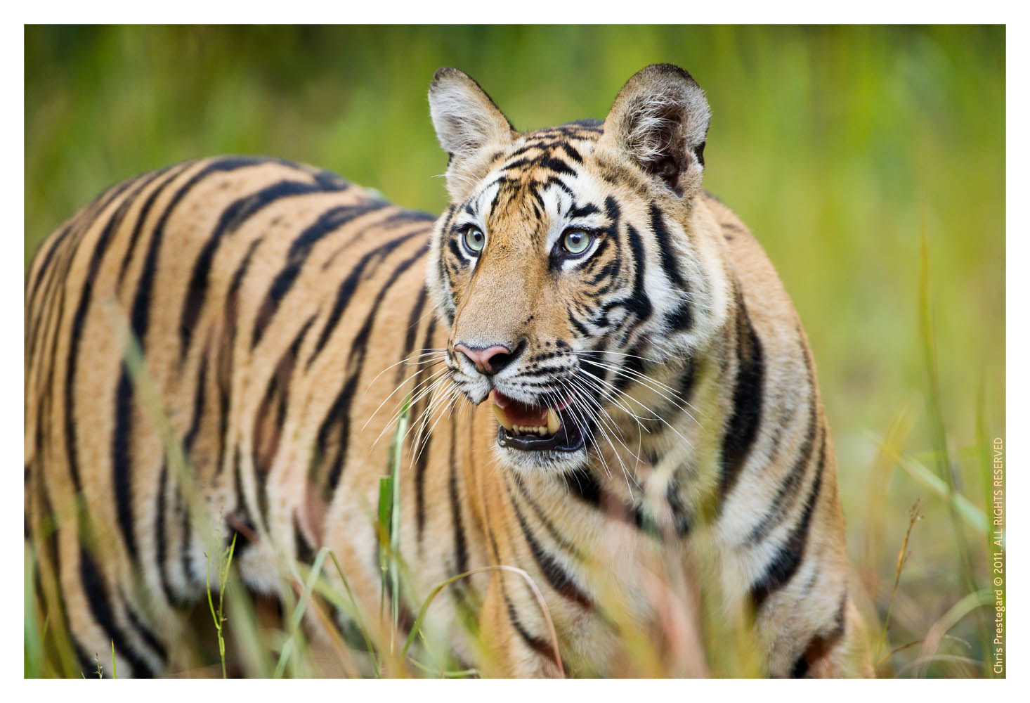 Tiger5552C-Apr23-2011