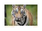 Tiger5562-Apr19-2014