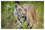 Tiger5575-Nov28-2010