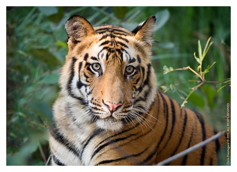 Tiger5764C-Apr23-2011