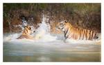 Tiger6093-Apr23-2011