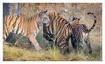 Tiger6282-Nov30-2010