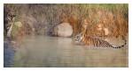 Tiger6312-Nov28-2010