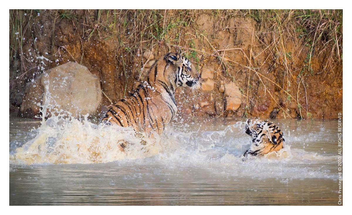 Tiger63270-Nov28-2010