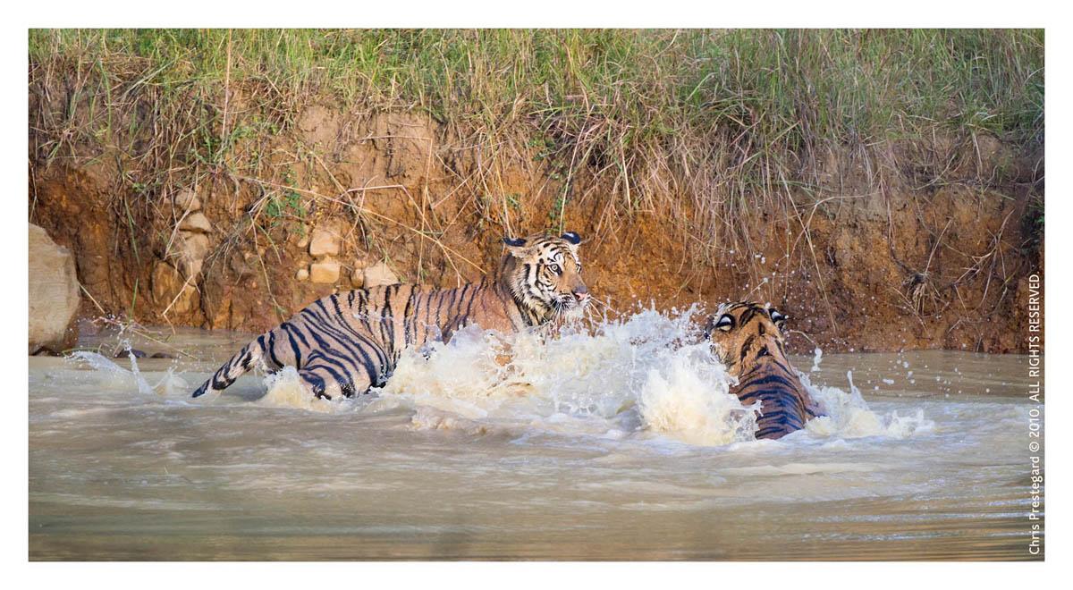 Tiger6340-Nov30-2010