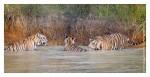 Tiger6359-Nov30-2010