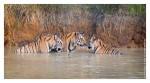 Tiger6416-Nov28-2010