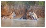 Tiger6419-Nov30b-2010