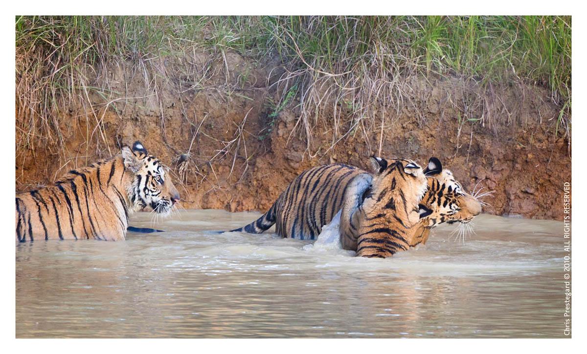 Tiger6425-Nov30-2010