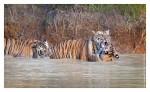 Tiger6436-_Nov28-2010