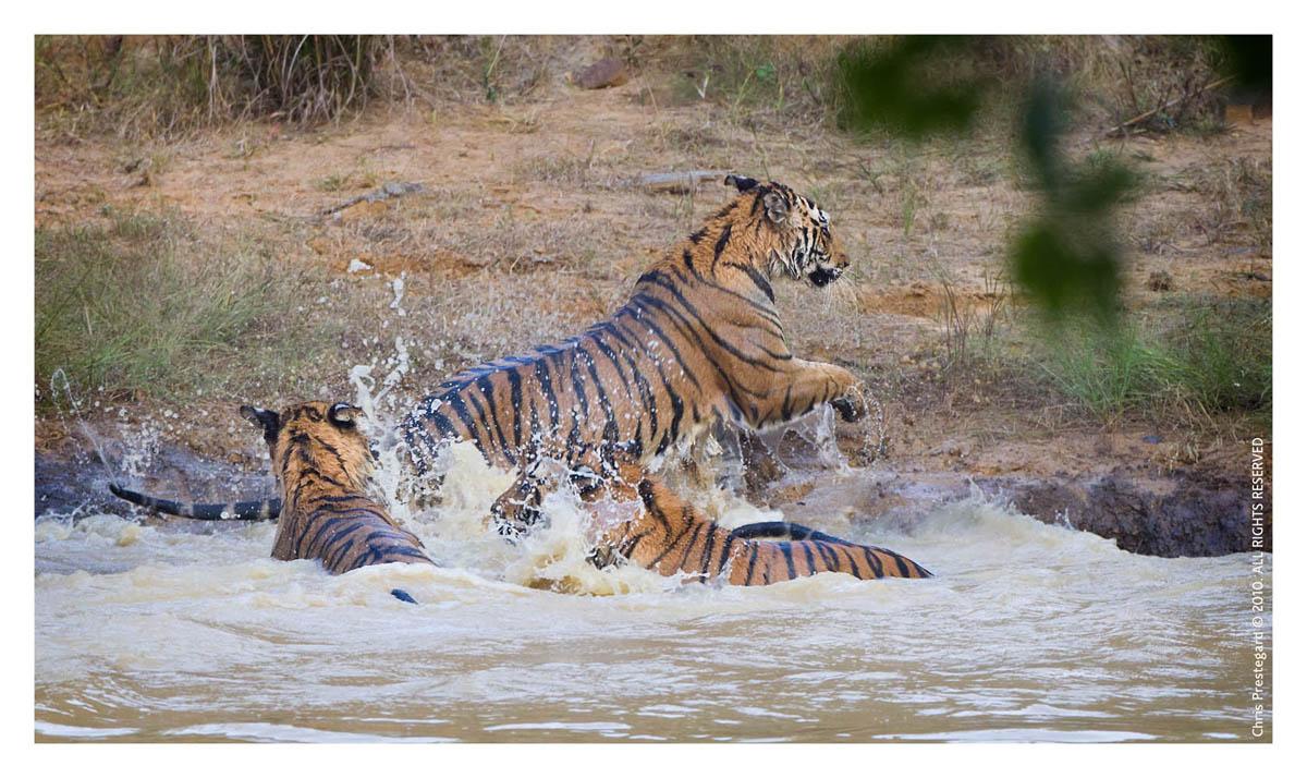 Tiger6478-Nov28-2010