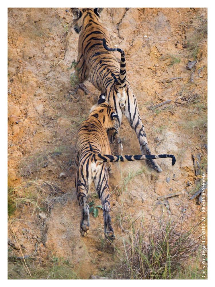 Tiger6627-Nov29-2010