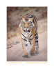 Tiger9832-Aug4-2012