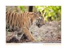 TigerB2-9927c-June16-2010