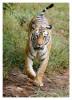 TigerBgarh9856_Jan20-2012