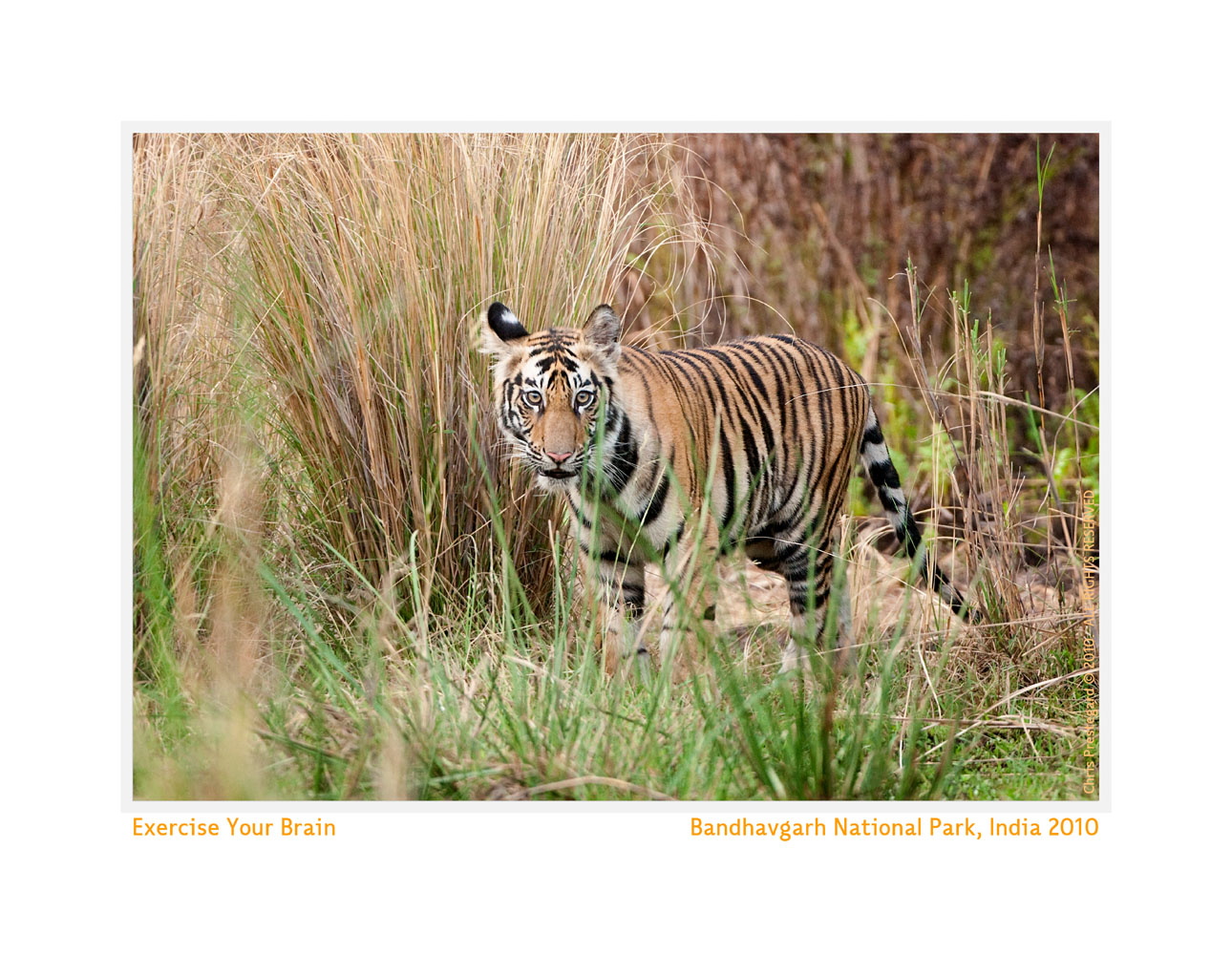 TigerCub8047e-June18-2010