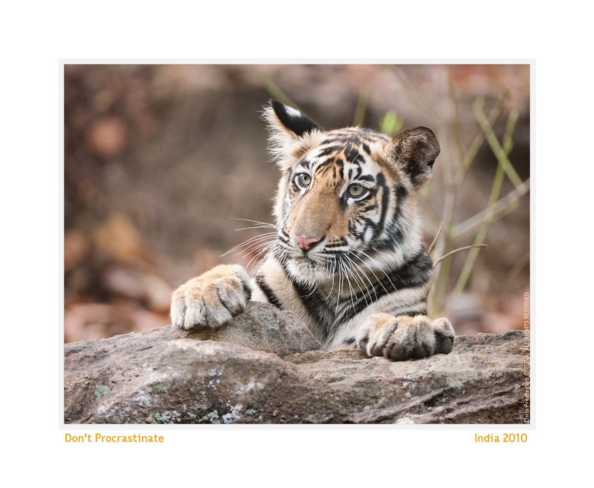 TigerCub9011-Oct5-2013
