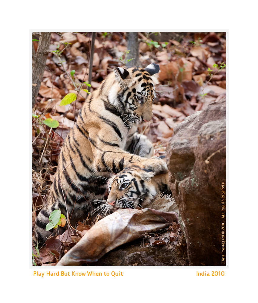 TigerCubs8750-Oct7-2013