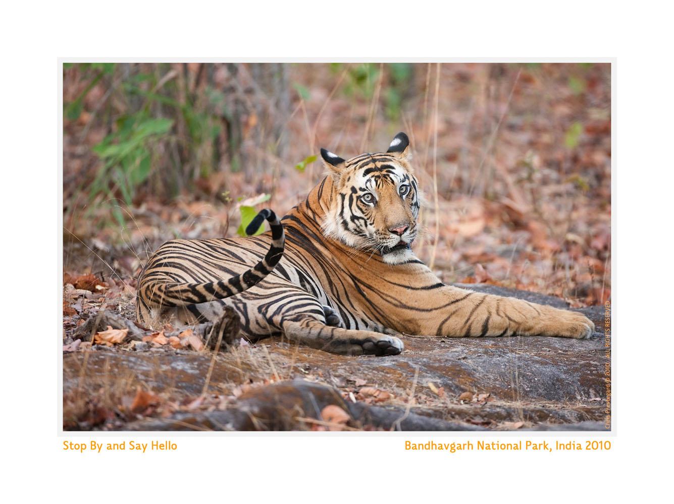 TigerKallua9573b-June16-2010