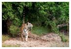TigerMirch9835_Jan22-2012