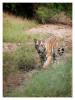 TigerMirch9839_Jan24-2012