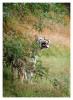 TigerMirch9849_Jan25-2012