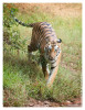 TigerMirch9852_Jan24-2012