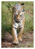 TigerMirch9857_Jan20-2012