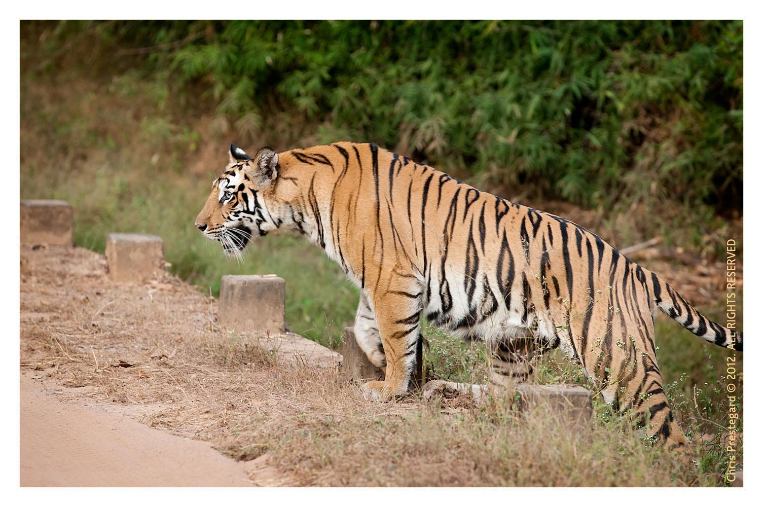 TigerMirch9869_Jan22-2012