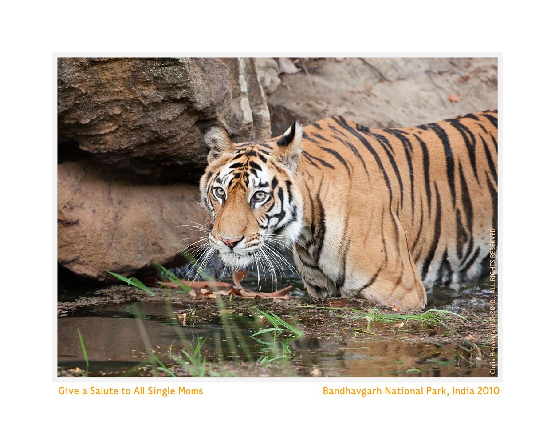 Tigeress8531b-_June15-2010