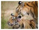 Tigers5002-Dec4-2010