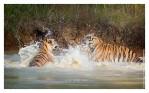 Tigers6097B_Dec3-2010