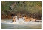 Tigers6100B_Dec3-2010